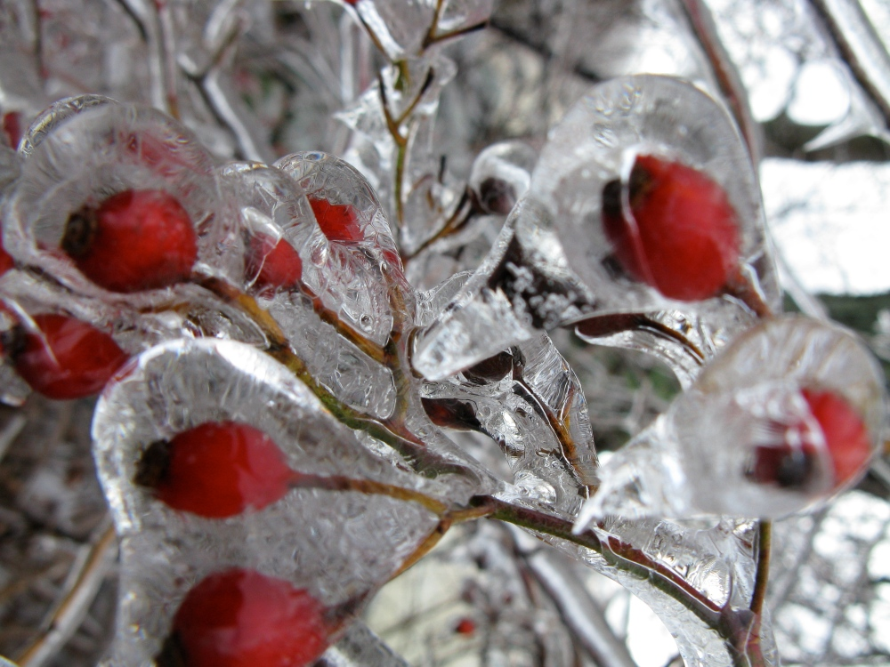 rose hips in ice