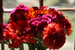 Hot colored zinnias grown by Hillary Nelson