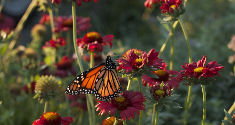 Monarch Butterfly on Gaillardia