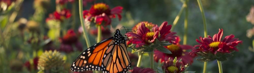 Monarch Butterfly on Gaillardia