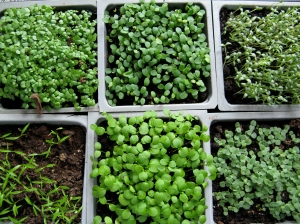 Seedlings Ready to Pot Up