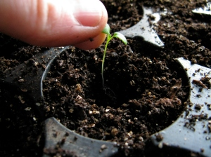 Lowering the Seedling into the Pot