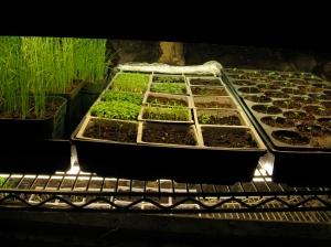 Seedlings Under Fluorescent Lights