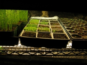 Seedlings Under Fluorescent Lights