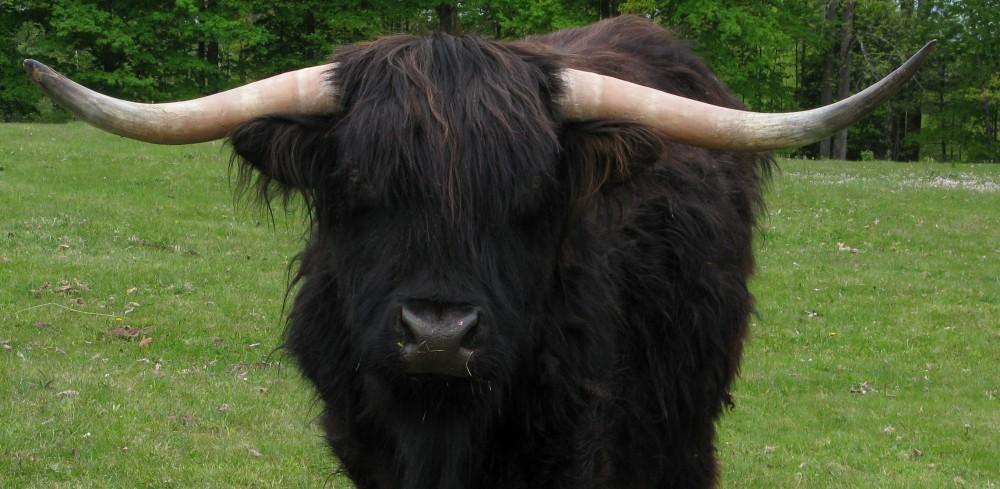 Highland Bull