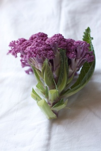 purple cauliflower in early spring