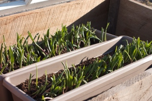 ramps in window box and cold frame